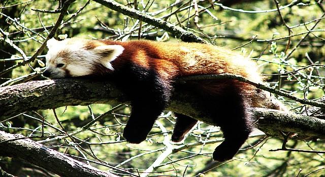 Panda hängt am Baum